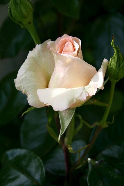 one perfect rose.