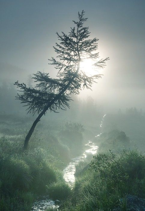 Crooked tree in the mist