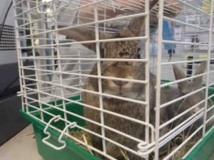 Adoptable Fridays: Meet Thumper! Thumper is an adoptable Bunny  Rabbit in Oklahoma City, OK. Find out more about Thumper! #pets #animals #bunnies