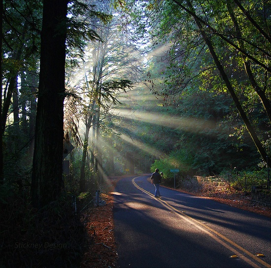 Sunlight streaming through redwood trees