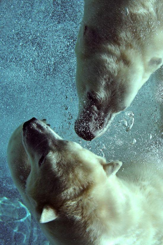 Polar bears by Mark Philpott