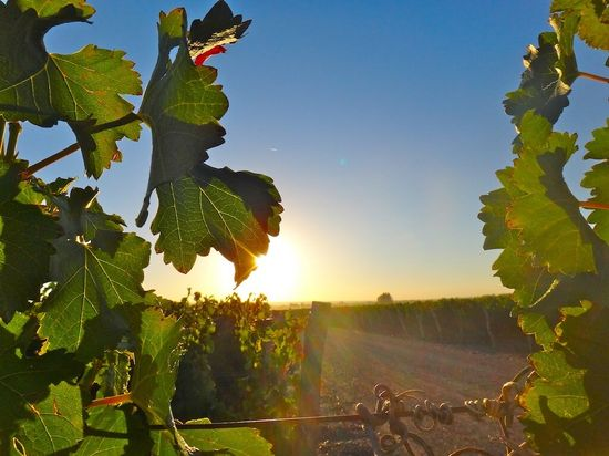 "#Harvest2013 has officially commenced at Catena Zapata ""The sunrise this AM blessed the Sauvingnon Blanc before its 1st harvest"" the winery commented on Twitter."