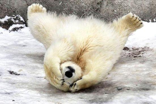polar bear belly