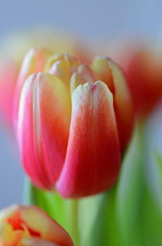 Tulip ?