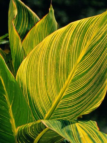 Canna - tropical plants