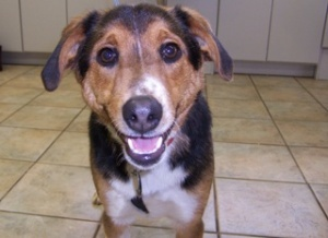 MONTANTA ~ meet Fido an #adoptable #Beagle #dog in Polson. ust look at that smile!  This is a very friendly fellow who likes all people and other dogs.  At 33 pounds he's a good size to join in on all family activities.  For more info & to #adopt Fido please contact Cindy of Life Savers Rescue at (406) 249-9392 or email:  mailto:travelerpb... ; or submit a matchmaking form at:   www.lsar.org/...