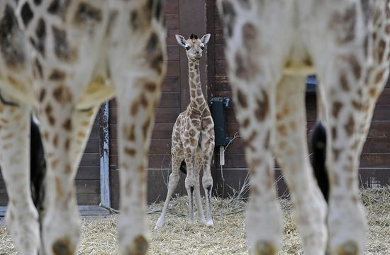 Baby animals...a definite cure for the blahs. This round: Baby Giraffe