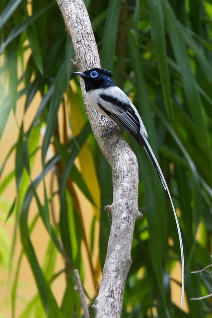 Madagascar Paradise-Flycatcher