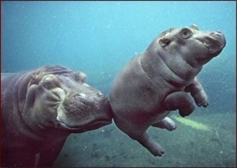 mother and baby animals - hippos