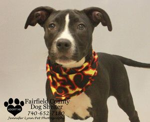WILLY is an adoptable Pit Bull Terrier Dog in Lancaster, OH. HELLO  I WAS LOST AND THEY FOUND ME  I WAS IN THE LANCASTER AREA  THEY ARE CALLING ME WILLY  I AM A PIT BULL BOXER MIX  DO YOU KNOW ME OR M...