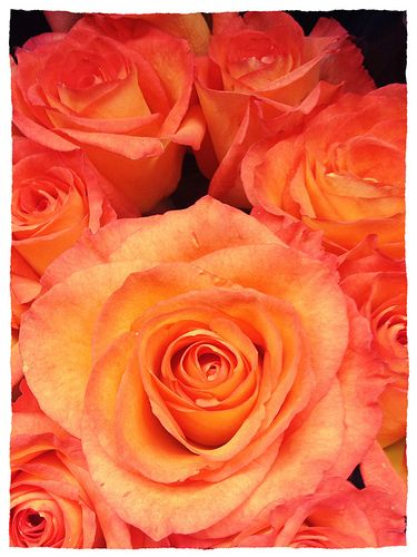 Love these two-tone peachy-orange roses as well!