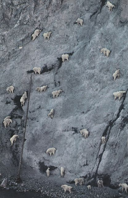 Mountain Goat (Oreamnos americanus) herd licking salt and minerals from steep, rocky slope known as the Walton Goat Lick, Glacier National Park, Montana  © Minden Pictures / SuperStock