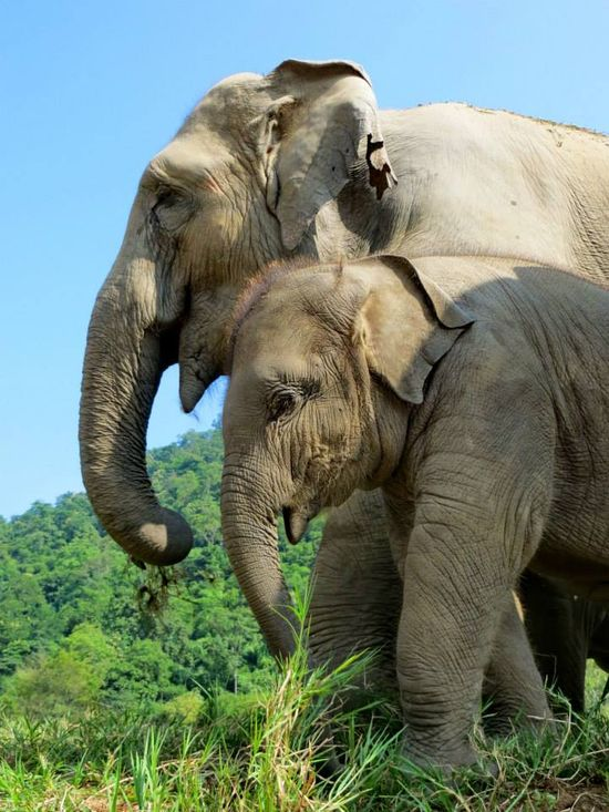 Mother-daughter portrait -- Dok Ngern and Dok Mai. Photo by Jodi Thomas at Elephant Nature Park, Thailand