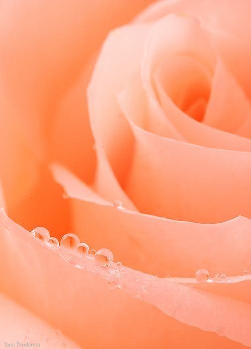 Color Durazno - Peach!!! Rose