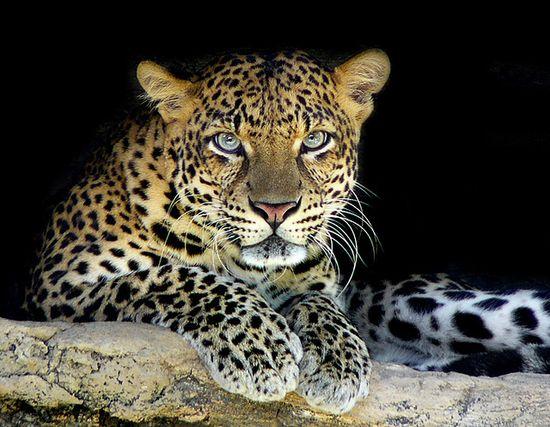 Grippingly intense gaze. #leopard #cat #animals #wildlife #beautiful #big_cats #nature