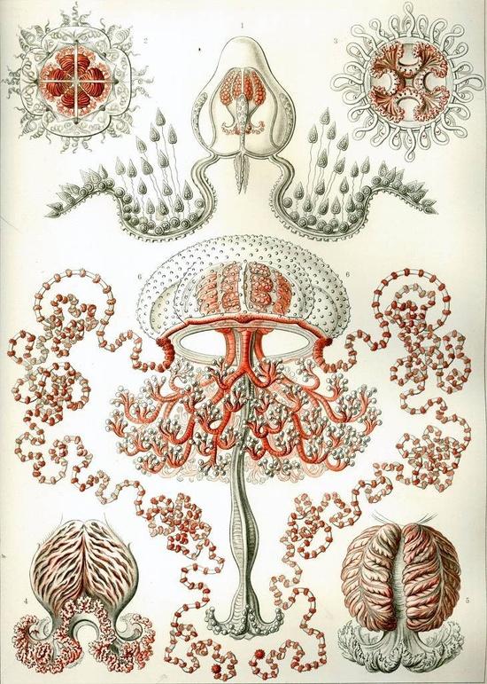 Ernst Haeckel print