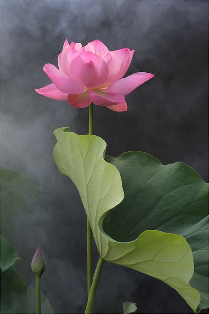 Big happy sigh! Lotus Flower -