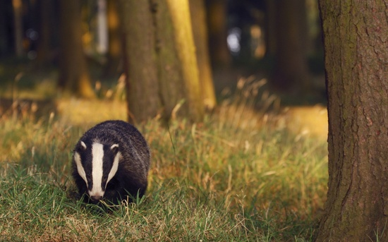 OLD WORLD BADGER FORAGING IN FOREST