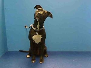 MOCHA is an adoptable Pit Bull Terrier Dog in Brooklyn, NY.  ...