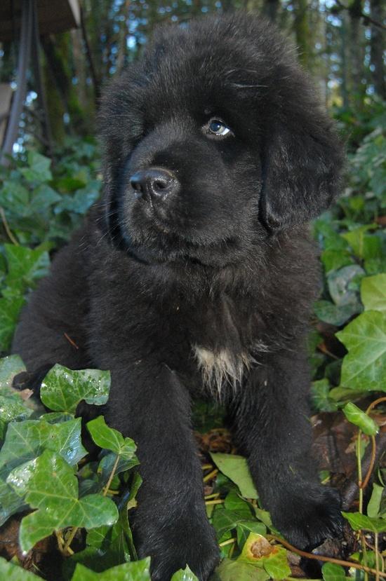 Tibetan Mastiff Dogs...I want one!