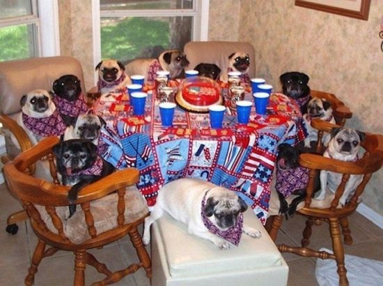 Pugs in the kitchen.