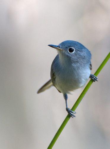 Little blue bird on a branch