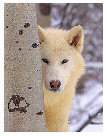 wolf... I would do anything to see this in the wild