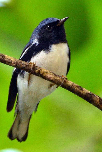 Black-Throated Blue Warbler by delphinusorca. Breeds in eastern North America - migrates to islands of the Caribbean and Central America in the cooler months