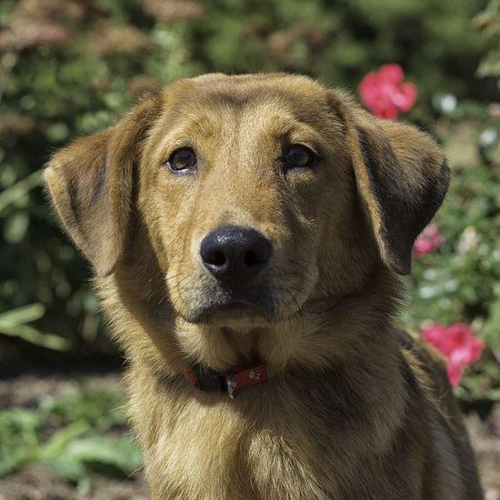 Riley Golden Retriever Mix • Young • Male • Medium Humane Society of Blue Ridge Blue Ridge, GA  www.petfinder.com...