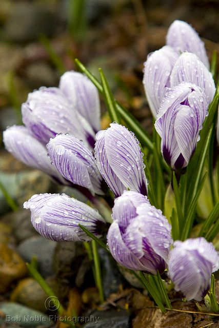 Spring Crocus with Water Drops