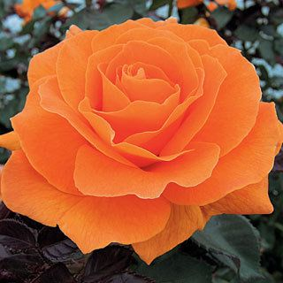 Jackson & Perkins Rose Vavoom - shrub grows to 3 feet high, blooms all summer