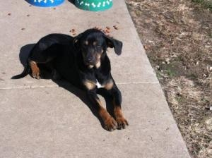 #W.VIRGINIA ~ Maggie is an #adoptable #BlackAndTanCoonhound #Dog in #Logan. This animal is in foster care. Please call 304-945-7827 or email mailto:logancount... if interested in adopting.