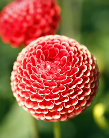 pom pom dahlias. these would make an awesome, full bouquet