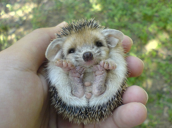 Baby hedgehog! This is the stuff animated features are built on. OMG look at those little feet!