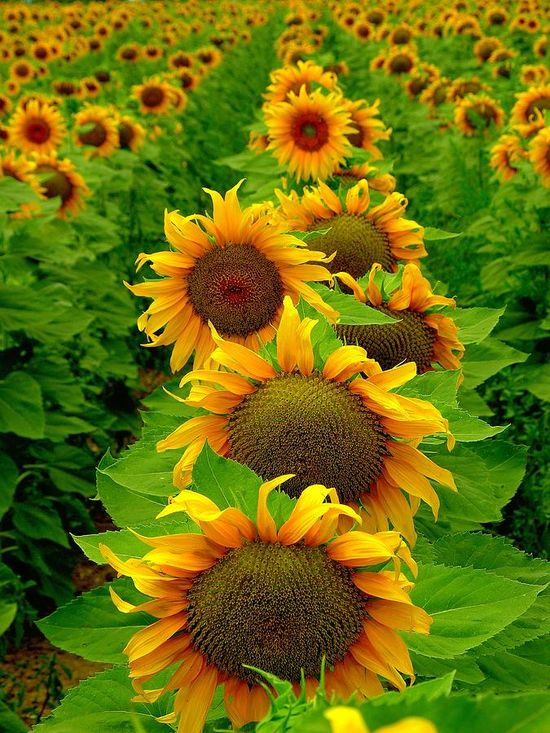 Sunflowers... all in a row •  by Susan Thomas