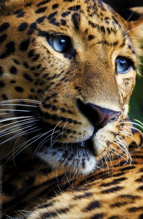 Leopard...love the blue eyes!