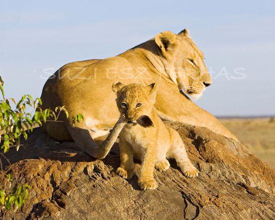 LION BABY PLAYING Photo- 8 X 10 Print - Baby Animal Photograph, Wildlife Photography, Wall Decor, Nursery Art, African Safari, Nature. $25.00, via Etsy.
