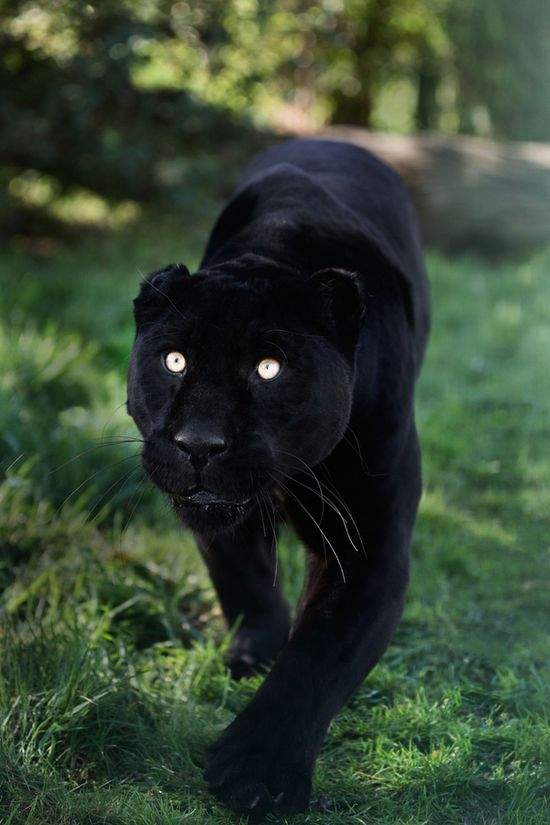 Panther-this would really freak me out if I saw this in the wild!