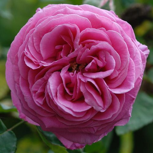 Bourbon Rose Madame Isaac Perriere by Gary Mattingly #Flowers #Bourbon_Rose