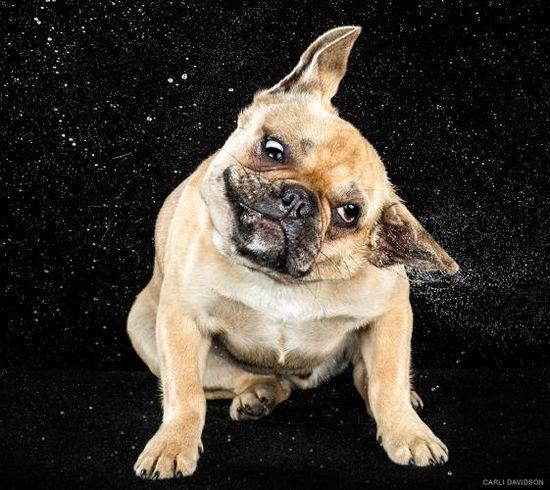 Shaken Not Stirred ~ Funny Photos Of Wet Dogs Shaking