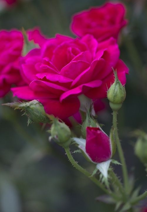 Beautiful color, Rose