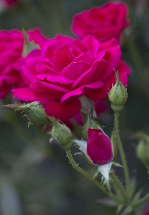 Beautiful color, Rose