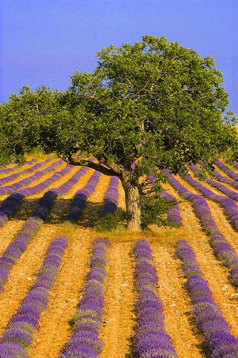 Lavender field, Provence, France .