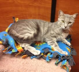 Patience is an adoptable Domestic Short Hair Cat in Arlington, VA. She sits, calmly, patiently, waiting for a forever home. Our volunteers wait with Patience... do you need some Patience in your life?...