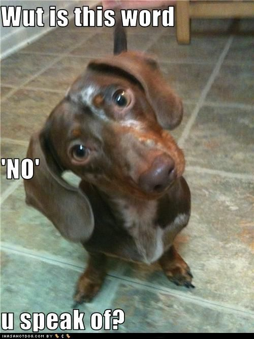 """""""No"""" is not in the dachshund's vocabulary"""