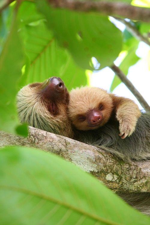 Sloths cluddling