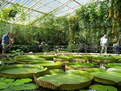 My secret gardens will have BIG waterlilly pads. When the Waterlily House was constructed in 1852, it was the largest single span greenhouse in the world. Besides the trailing pitchers of carnivorous plants, it also houses a large pond featuring the giant Amazonian waterlily (Victoria amazonica)