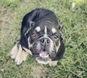 PENNSYLVANIA ~ Raisin is an #adoptable English Bulldog Dog in Newtown, PA. The funniest dog in the world is Raisin! She is everyone's best pal. Raisin spent almost 4 weeks in a shelter because she could barely walk. ... meet her at American Bulldog Rescue.