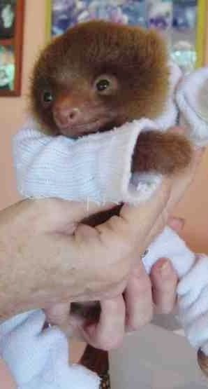 Cute Pet Baby Sloth