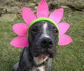 Piper ~ SPONSORED is an adoptable Pit Bull Terrier Dog in Bethel Park, PA. Piper is a 1 year old pit bull / boxer mix dog.  She was rescued from an animal control and most likely would have been eutha...